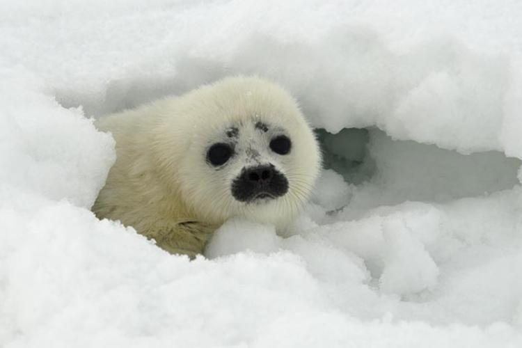 A ringed seal pup peeks out from its partially collapsed snow cave near Kotzebue, Alaska.